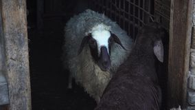 Black and white sheep stand in the pen. This video shows Black and white sheep stand in the pen stock video