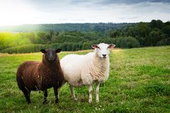Black and white sheep together in the meadow Stock Images