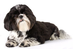 Black and White Shih-Tzu. Against white background Stock Photography