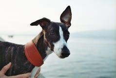Black and White Short Coat Dog Royalty Free Stock Photos