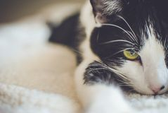 Black and White Short Coated Cat Stock Images