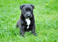 Black and White Short Coated Puppy Sitting on Green Grass Stock Photo
