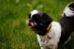 Black and White Short Hair Shih Tzu Dog on Green Grass royalty free stock images