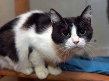 Black and white short-haired cat. In the shelter Stock Photography