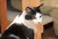 Black and white short-haired cat. In the shelter Royalty Free Stock Photo