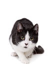 Black and white short haired cat. In front of a white background Royalty Free Stock Photos