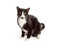 Black and White Shorthair Cat Sitting Looking Forward Stock Image