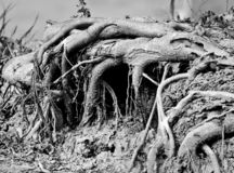 Roots of a banyan tree. Black and white shot of roots of a banyan tree stock images