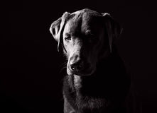 Black and White Shot of a Sad Looking Labrador Royalty Free Stock Images