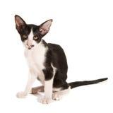 Black and white siamese kitten royalty free stock photos