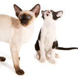 Black and white siamese kitten with pointed cat Royalty Free Stock Images