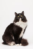 Black and white siberian cat. On white background royalty free stock photography