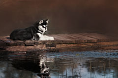 Black and white Siberian Husky is on the bridge Royalty Free Stock Images