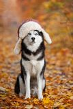 Black and white Siberian Husky dog in a hat with earflaps sittin. G in yellow autumn leaves royalty free stock photos