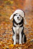 Black and white Siberian Husky dog in a hat with earflaps sitting in yellow autumn leaves.  stock photography