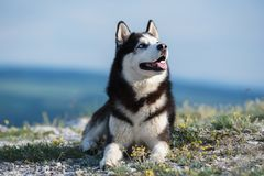 Black and white Siberian husky lying on a mountain on the background of the lake. stock image