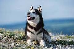 Black and white Siberian husky lying on a mountain on the background of the lake. The dog on the background of natural landscape. stock photos