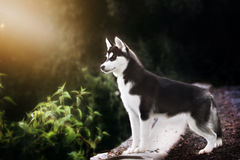Black and white Siberian husky stands Stock Image