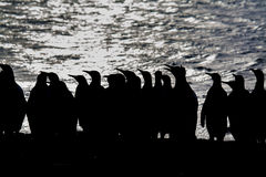 Black and white silhouette of king penguins with ocean background Stock Photos