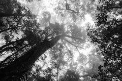 Black and white silhouette upward tree in forest with fog in mor. Ning Stock Photo