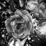 Black&white skönhet Royaltyfria Foton