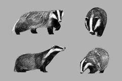 Black and white sketch of badger. Black and white monochromatic freehand sketch of european badger Royalty Free Illustration
