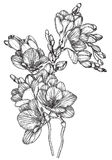 Black and white sketch of Beautiful spring freesias Royalty Free Stock Photo