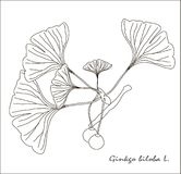 Black and white sketch of a branch of Ginkgo biloba fruit and leaves Stock Images