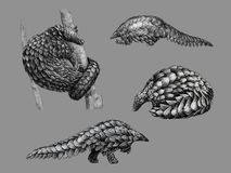 Black and white sketch of pangolin. Black and white monochromatic freehand sketch of pangolin Royalty Free Illustration