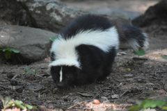 Wild Black and White Skunk in the Wilderness. Black and white skunk waddling along the wilderness floor royalty free stock photography