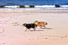 Black and white small sheltie dogs playing on beach, running, throwing, catching, carrying ball Royalty Free Stock Images