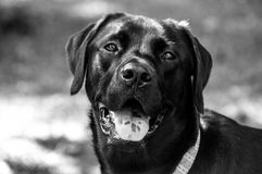 Black and white smiling black lab. Spotted tongue that hangs out Stock Photography