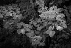 Black and white smoke bush. Beautiful black and white smoke bush Cotinus Royalty Free Stock Photos