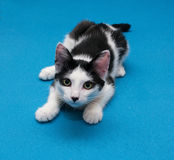 Black and white smooth coat kitten prepares to jump Stock Image