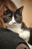 Black and white smooth coat young cat Royalty Free Stock Photo