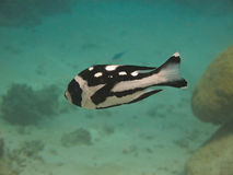 Black and White Snapper on Great Barrier Reef Royalty Free Stock Images