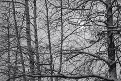 Black and white of snow covered branches crisscrossing in front of grey mid winters day. Cold, interlaced, New England stock images
