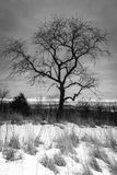 Black-and-white snow covered ground landscape. Vertical landscape of a bear in tree in black-and-white taken in winter Stock Image