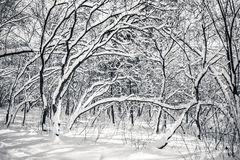 Black and white snow covered winter trees. Blue sky at background Royalty Free Stock Photo