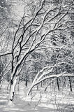 Black and white snow covered winter trees. Blue sky at background Stock Photos