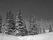 Black and White snow on trees Royalty Free Stock Photo