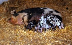 Black and white Sow feeding 6 black spotted piglets Royalty Free Stock Image