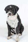 Black and white Spanish Water dog Stock Photography