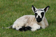 Black and White Speckled Lamb Stock Photography
