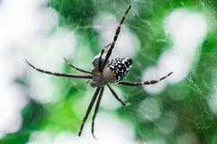A black white spider and its eggs hanging on the spiderweb stock photo