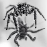 Black and white spider on mirror. Spider with reflection in bnw Royalty Free Stock Image
