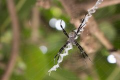 Black and white spider on net macro photo. Big spider in tropical forest. Hunting arachnid on tree branch. Thin spiderweb with black spider. Exotic arthropod Royalty Free Stock Photos