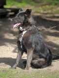 Black with a white spot purebred dog. Mongrel Royalty Free Stock Image