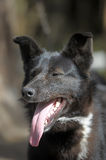 Black with a white spot purebred dog. Mongrel Royalty Free Stock Photos