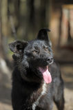 Black with a white spot purebred dog. Mongrel Stock Images